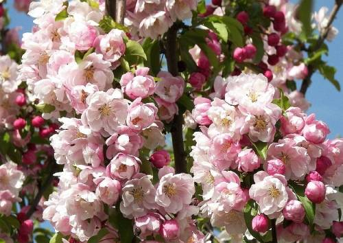 Сорта яблок с красной и розовой мякотью