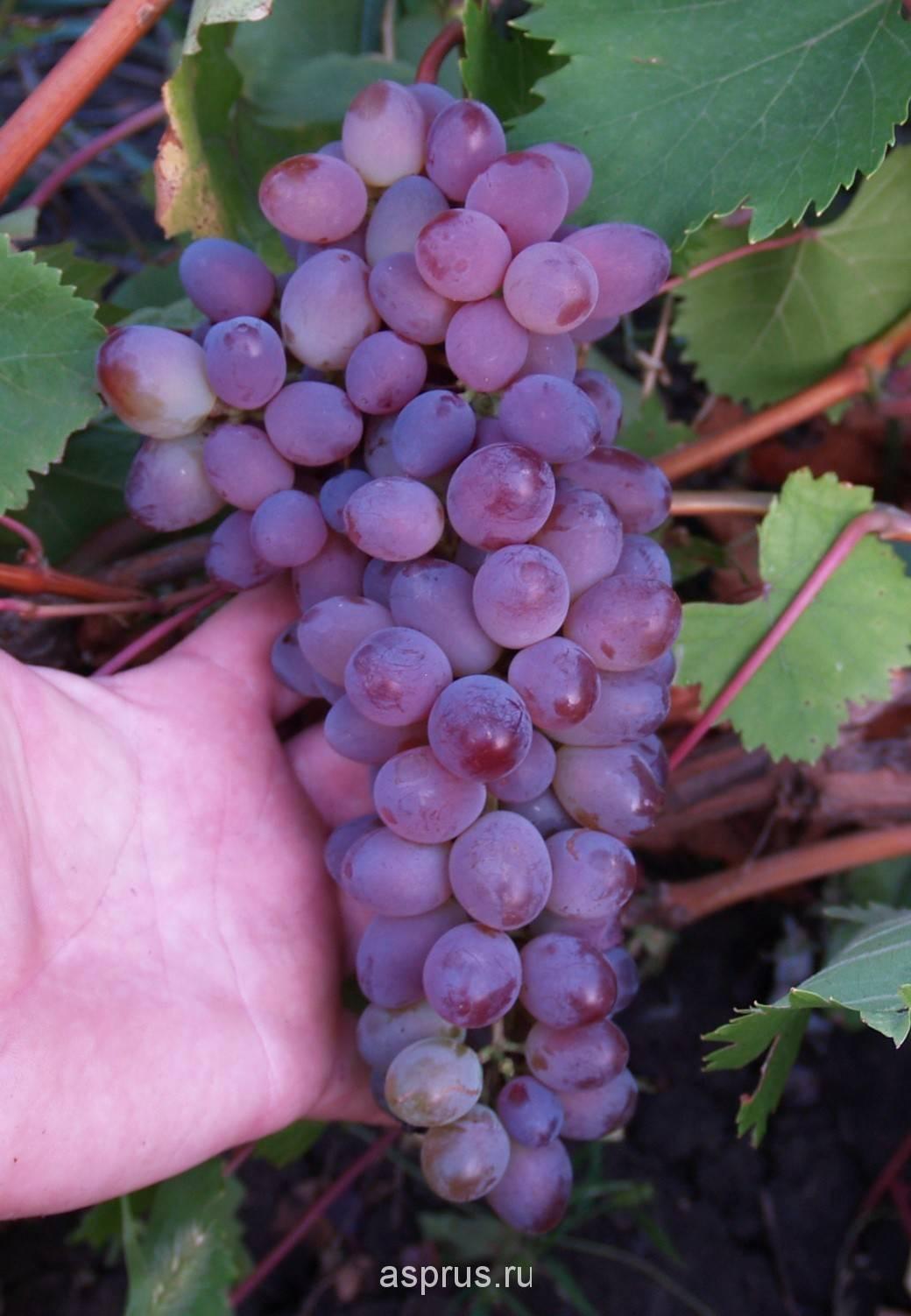 Виноград «кишмиш» и его разновидности