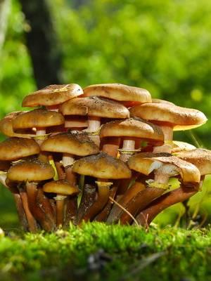 Когда пойдут опята в подмосковье в 2020 году: сроки появления грибов весной, летом и осенью, грибные места и отличия от ложных опят