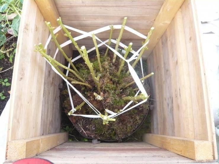 Укрытие гортензии на зиму осенью – подготовка гортензии к зимовке | мир садоводства