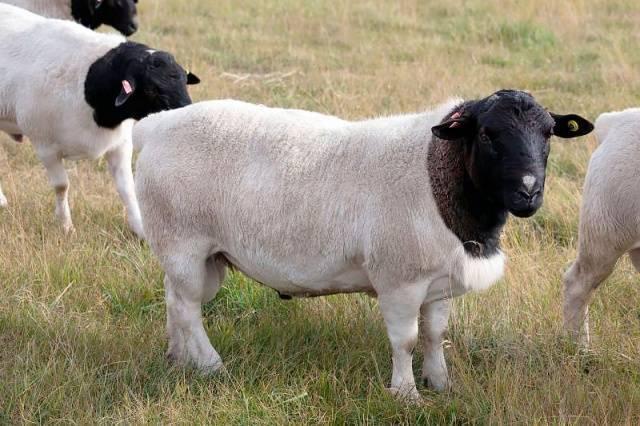 Бараны и овцы (48 фото): кто является предком домашней овцы? разведение животных, помещение для них. сколько растет? доят ли овец?