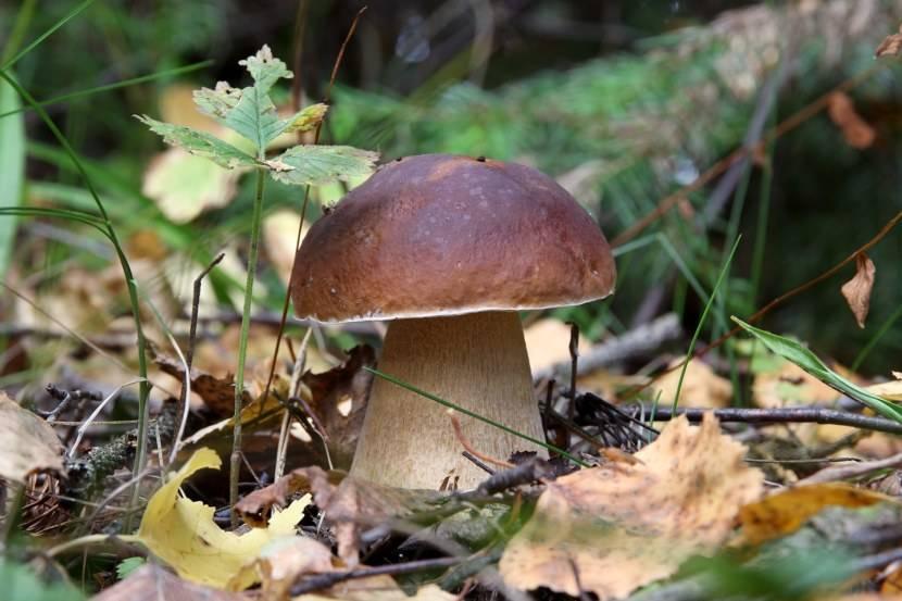 Как отличить белый гриб от ложного и желчного гриба