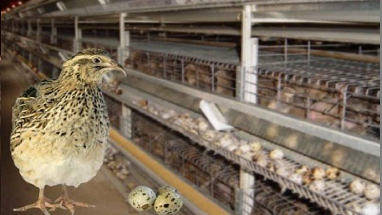 Разведение перепелов для начинающих птицеводов