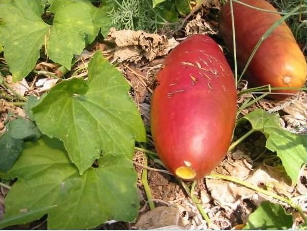 Кобея: выращивание из семян, посадка и уход в открытом грунте, фото