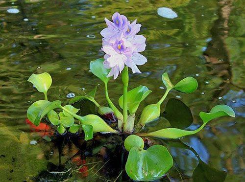 Эйхорния (водный гиацинт): виды и особенности выращивания