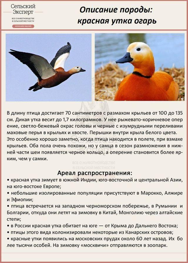 Красная утка (огарь): описание, ареал, питание, цена, фото, видео