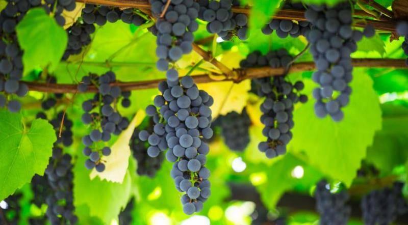 Описание сорта винограда изабелла