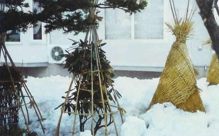 Зимнее укрытие для роз: покупное и своими руками из подручных средств