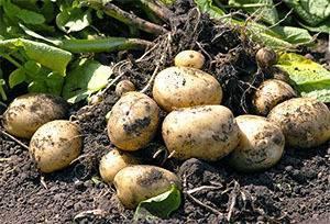 Нематода картофеля: описание болезни, как бороться, профилактика