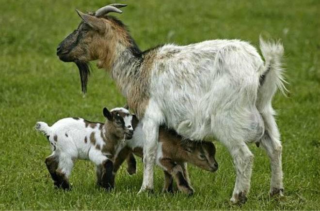 Миниатюрные камерунские козы
