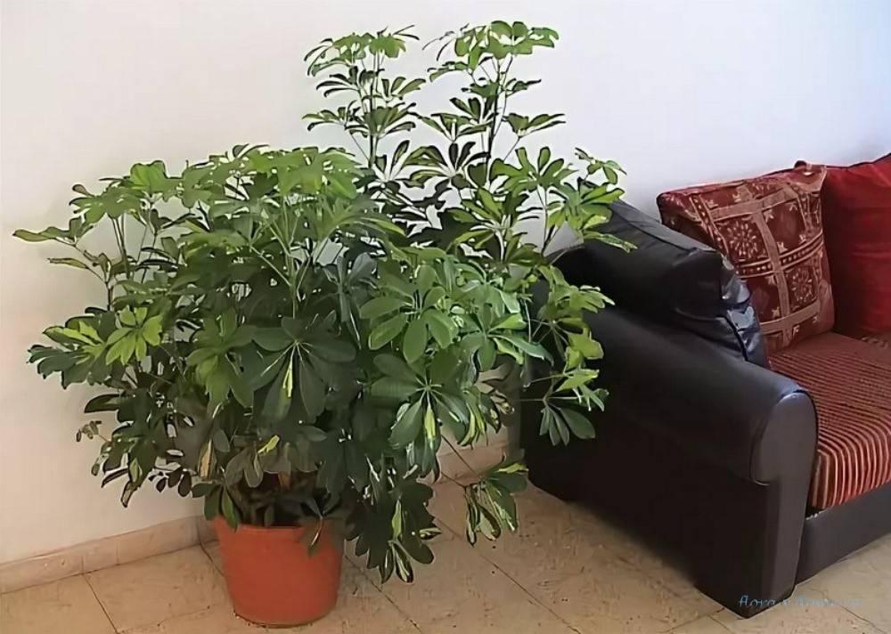 Шефлера (шеффлера): уход в домашних условиях, виды и сорта с фото