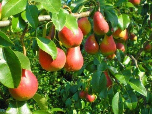 ✅ груша нарядная ефимова — описание сорта, фото, отзывы садоводов - cvetochki-penza.ru