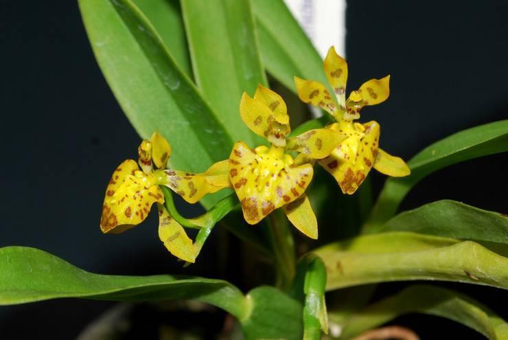 Орхидея онцидиум: уход в домашних условиях, залог цветения - правильный полив