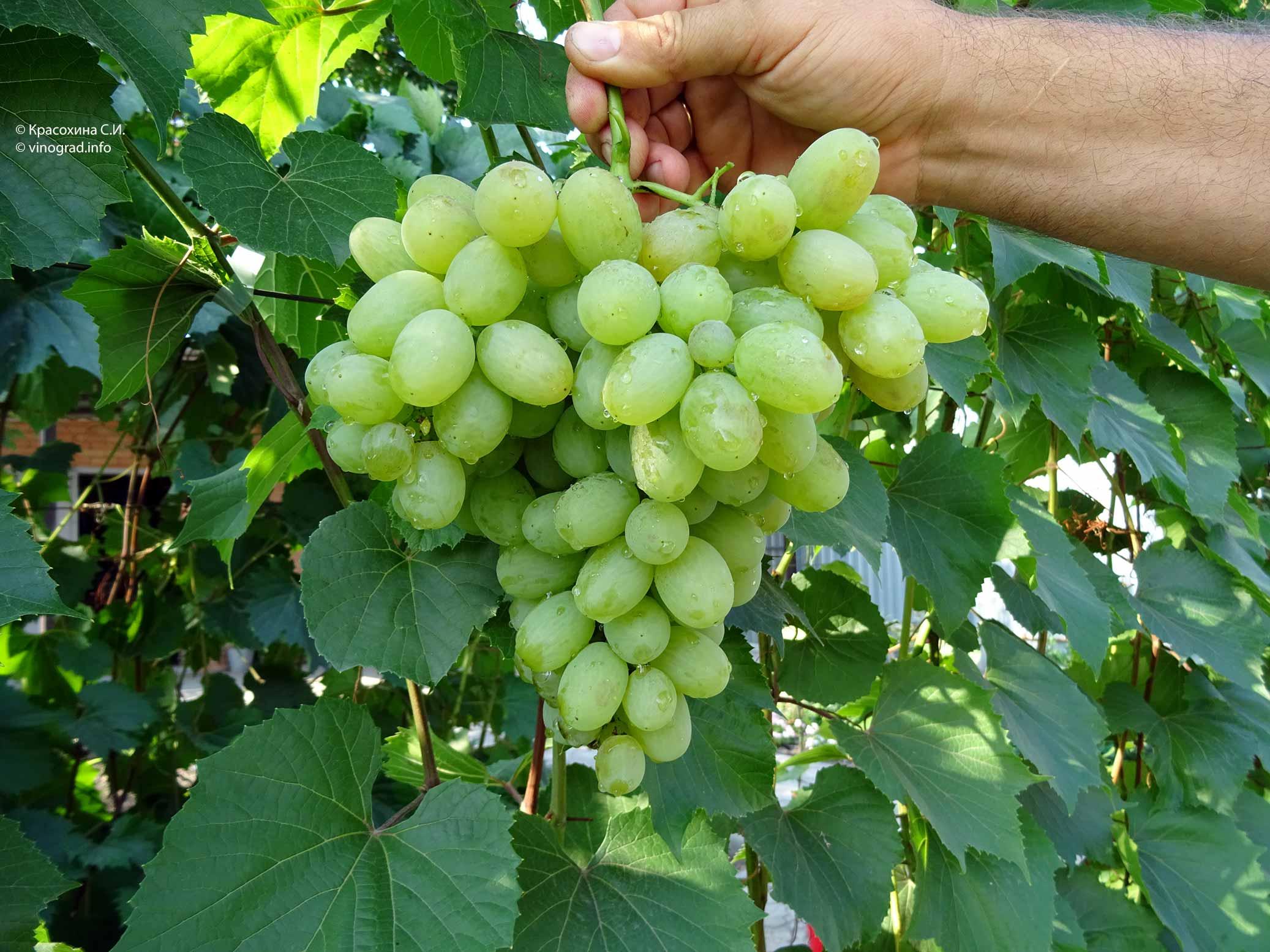 Виноград «подарок запорожью»: характеристика сорта и советы по культивированию