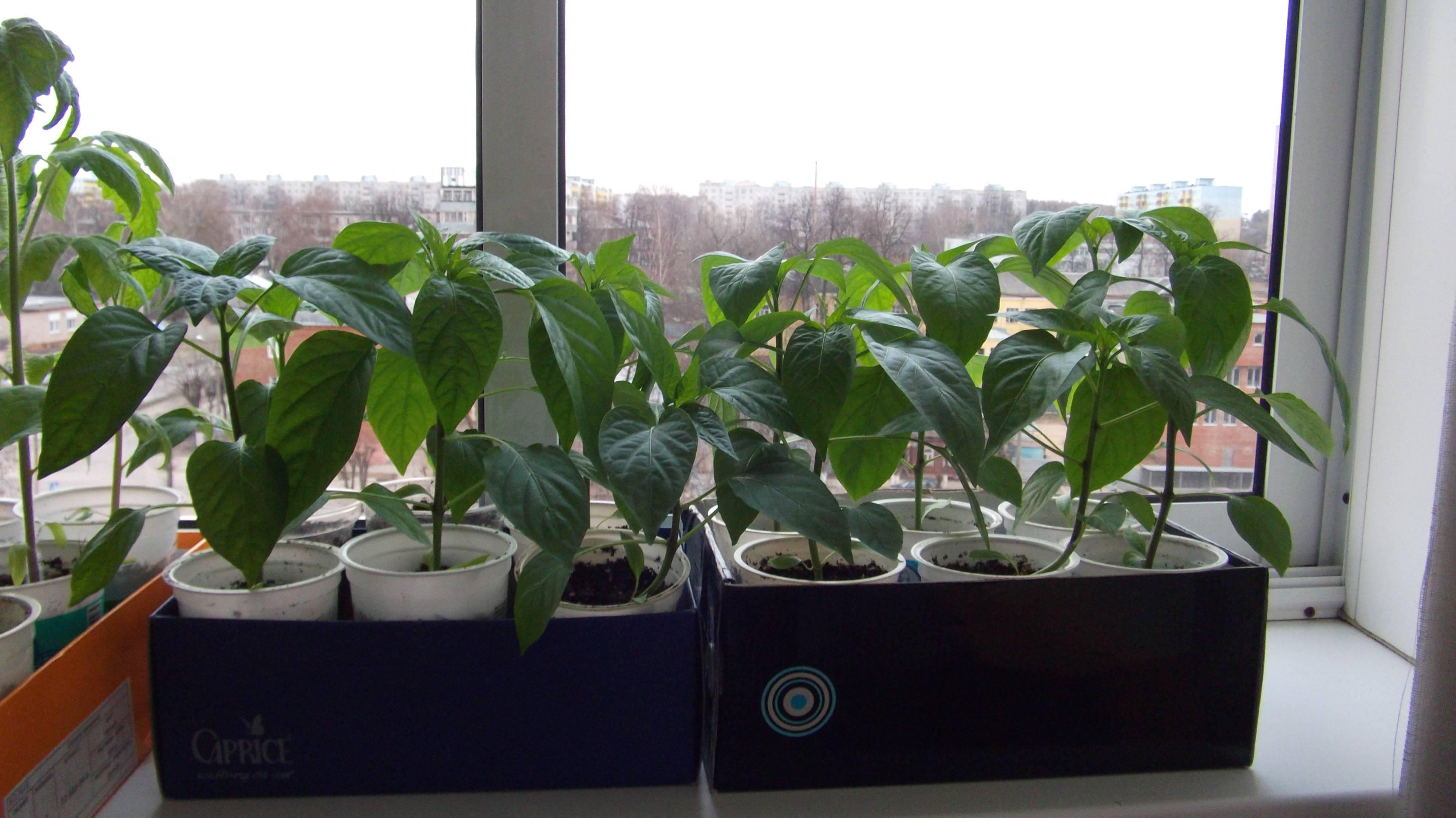 Как вырастить горький перец на подоконнике: пошаговая инструкция, особенности посадки и ухода
