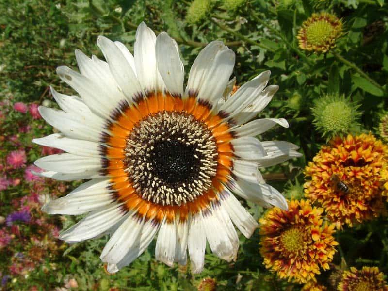 Энотера многолетняя: посадка и уход, выращивание из семян и свойства, фото