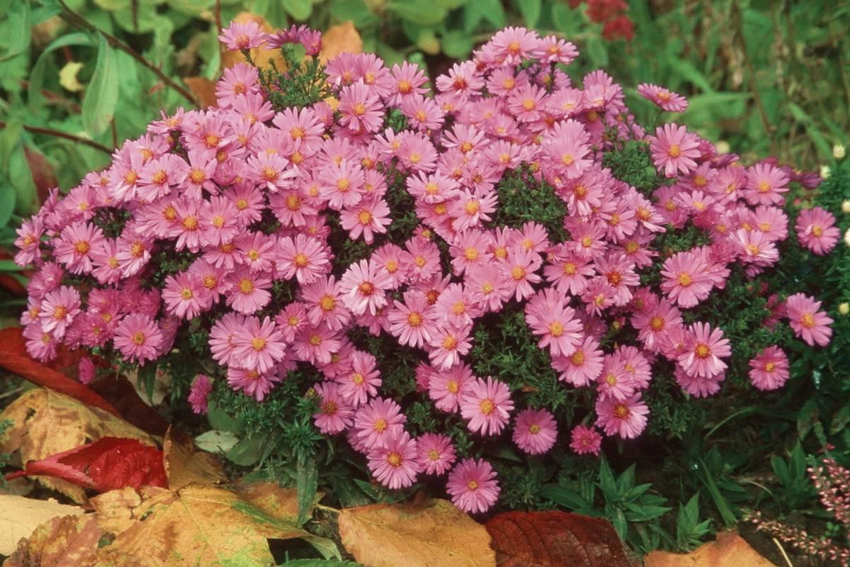 Цветы сентябринки: посадка, уход и размножение