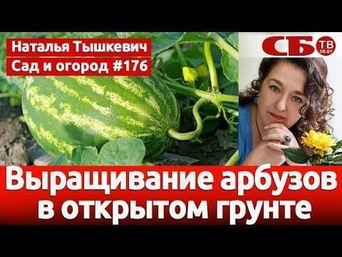 Выращивание арбузов: посадка и уход в открытом грунте, как формировать