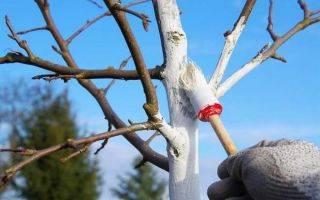 Как подготовить яблони к зиме в подмосковье - yabloki.ru