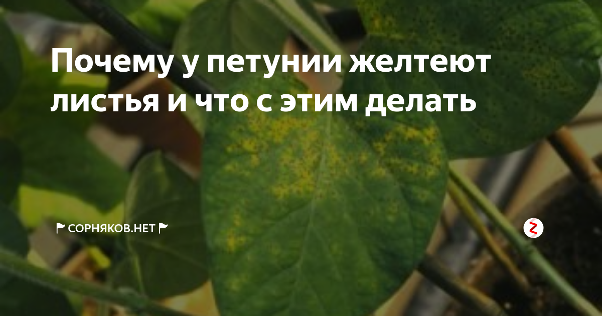 У рассады петунии желтеют листья — чем это опасно? | спутниковые технологии