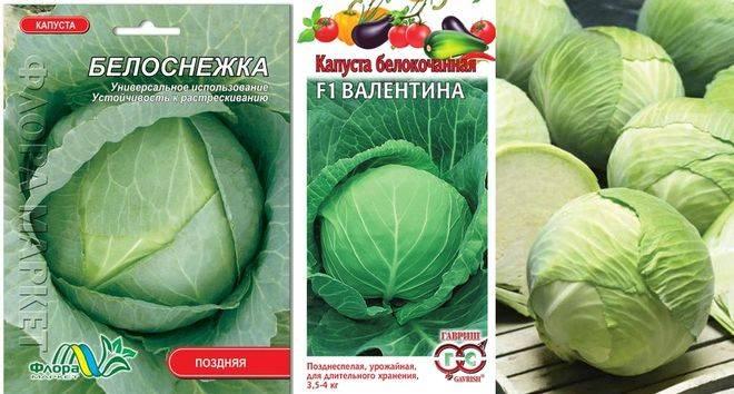 Обзор лучших сортов капусты, рекомендуемых для хранения зимой