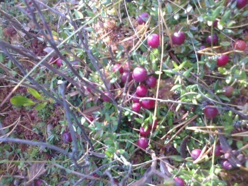 Клюква садовая - выращивание и уход на открытом грунте. особенности посадки клюквы в теплице (85 фото)