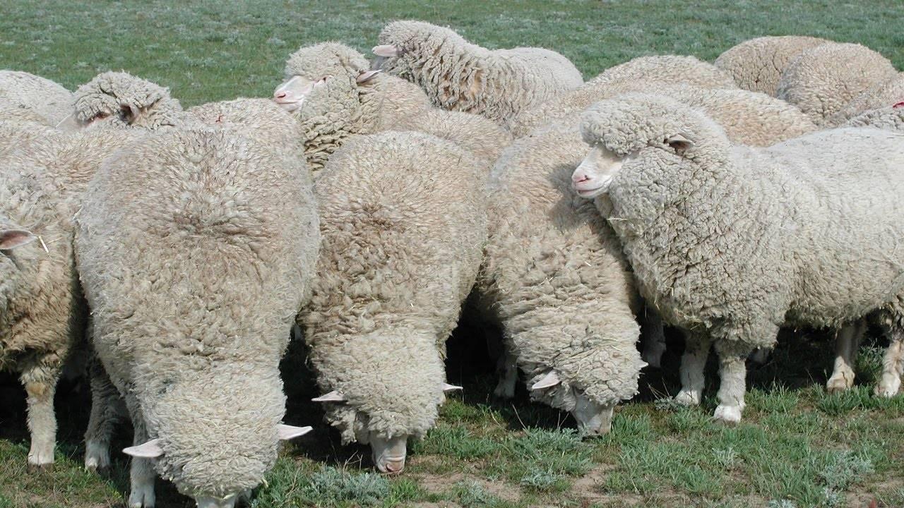 Современное разведение овец на мясо | cельхозпортал