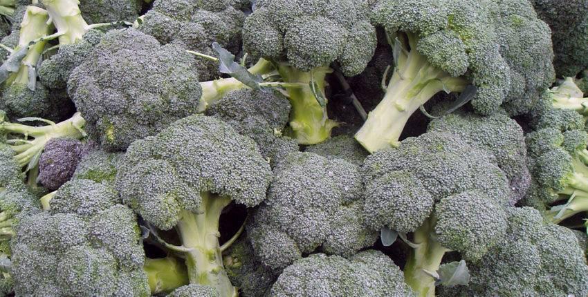 Выращивание брокколи в отрытом грунте: уход, полив, подкормки