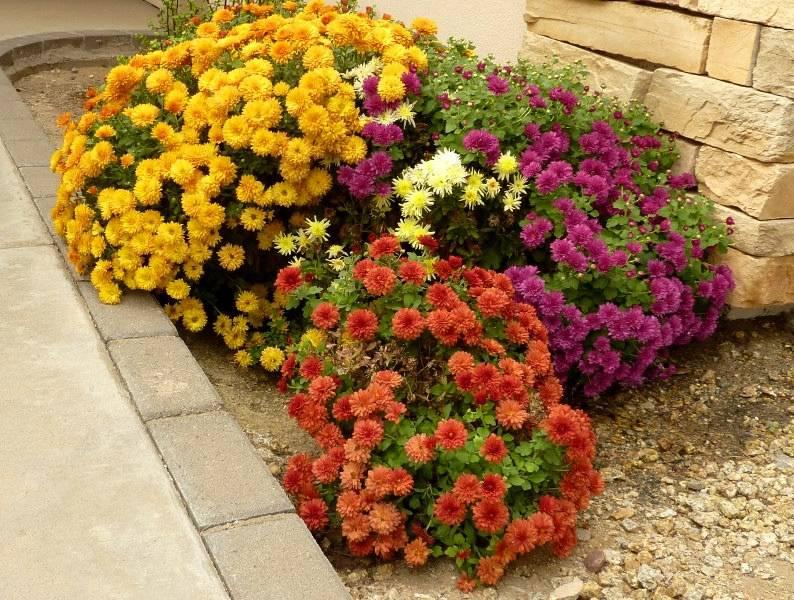 Уход за хризантемами осенью, подготовка к зиме: обрезка садовых цветов, укрытие и выкапывание