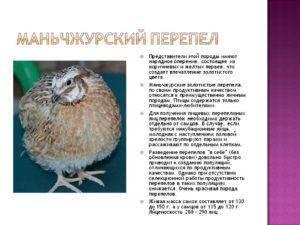 ᐉ маньчжурский перепел - характеристики продуктивности, содержание - zooon.ru
