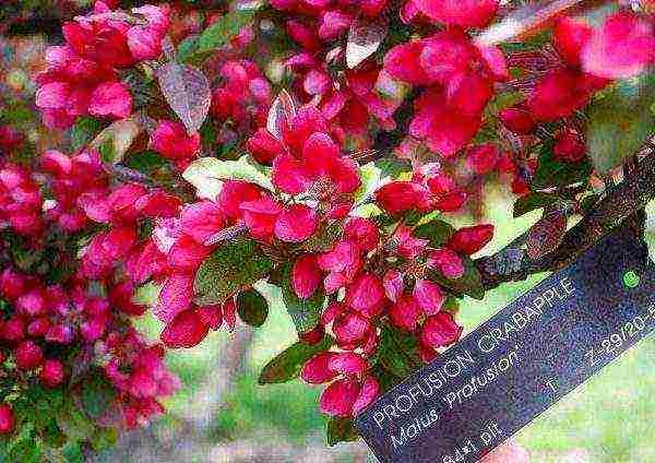Яблоня недзвецкого: фото и описание