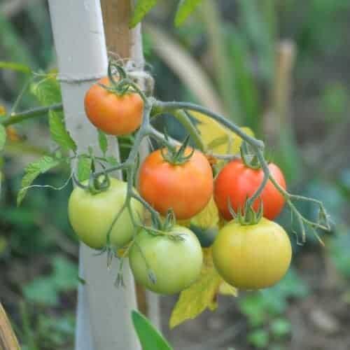 Подкормка помидоров: какие удобрения нужны для выращивания томатов в домашних условиях на балконе и в грунте, в том числе во время цветения и завязывания плодов русский фермер