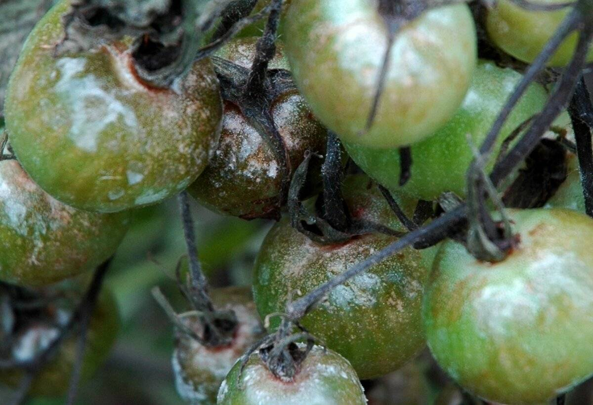 Чем опрыскивать помидоры — лечение и профилактика заболеваний, внекорневые подкормки