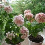 Уход в домашних условиях за пеларгонией ангел: сорта цветка герани, размножение