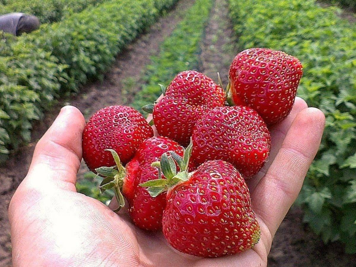 Клубника зефир: описание сорта и особенности выращивания