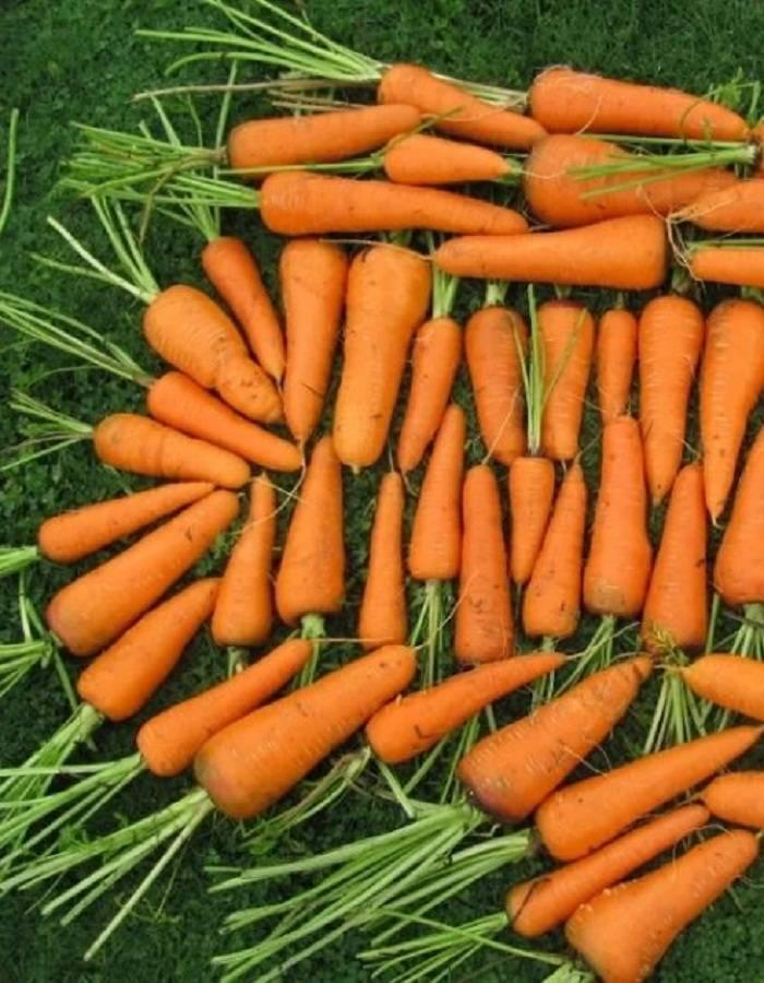 Сорт моркови балтимор (f1)