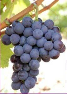 Сверхранние сорта винограда: выбираем лучший для посадки