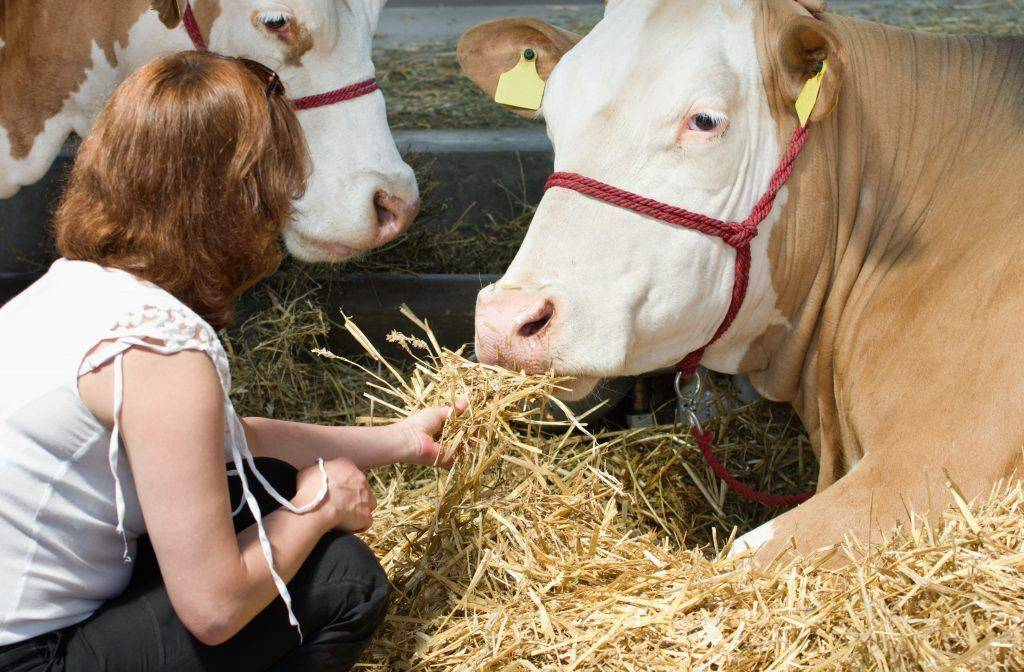 Симментальская порода коров: описание, правила содержания и разведения
