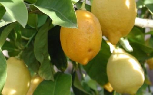 Лимон лисбон: описание сорта - сад и ферма