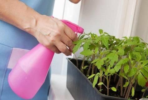 Можно ли опрыскивать рассаду помидор водой | вырасти сад!