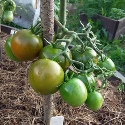 Томат виагра: характеристика и описание сорта, урожайность и фото
