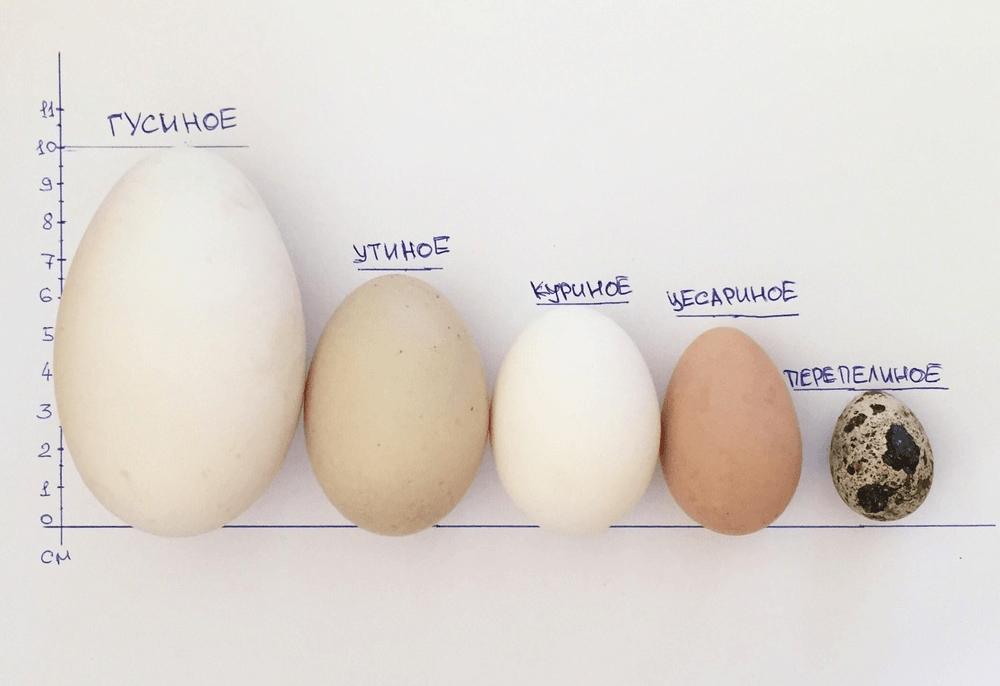 Яйца индоутки: польза и вред, описание, свойства — selok.info