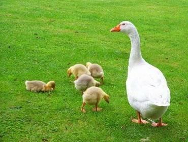 Выращивание гусят в домашних условиях: уход и содержание с первых дней жизни