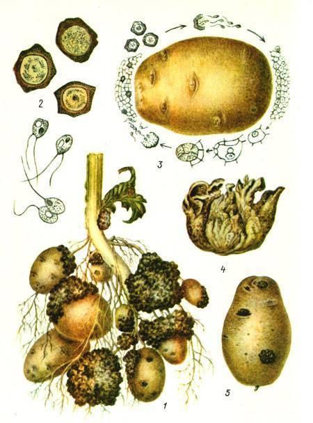 Рак картофеля: что это за болезнь, какой возбудитель ее провоцирует, представляет ли она опасность для человека, а также описание и фото признаков русский фермер