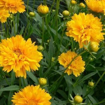Кореопсис — цветок солнца. выращивание, посадка, уход. фото — ботаничка.ru