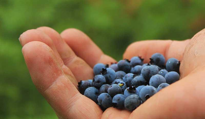 Посадка садовой голубики: когда и как посадить осенью и весной, видео