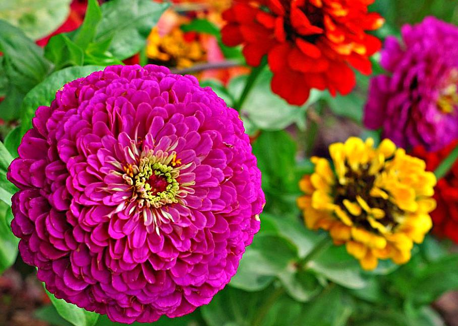 Цинии лучшие сорта - сад и огород