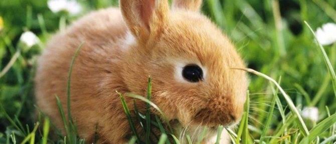 Сколько лет живут декоративные кролики - в домашних условиях, продолжительность жизни вислоухих, стоячеухих, карликовых и кроликов великанов, при какой температуре и могут ли жить на улице