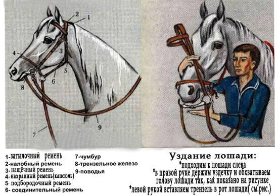 Самостоятельно мастерим недоуздок для своей лошадки