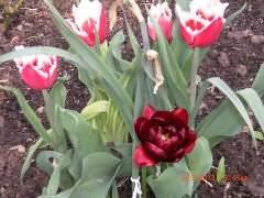 Почему у тюльпанов один лист - в рассаде